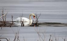 A mute swan at Heard Pond in Wayland, photographed by Joan Chasan.