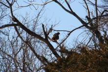A red-tailed hawk in Northborough, photographed by Jon Turner.