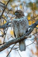 A red-tailed hawk in Stow, photographed by Guy Washburn.
