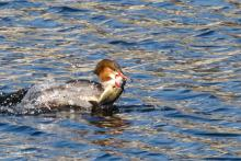 A common merganser with a bass at Fort Meadow Reservoir in Marlborough, photographed by Tami White.