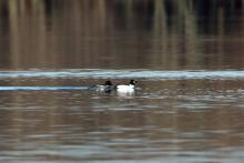 A pair of common goldeneyes in Marlborough, photographed by Jon Turner.