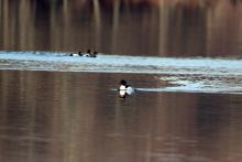 A common merganser in Marlborough, photographed by Jon Turner.