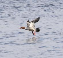 A female common merganser on the Sudbury Reservoir in Southborough, photographed by Steve Forman.