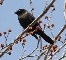 A common grackle at Great Meadows National Wildlife Refuge in Concord.