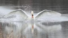 A mute swan on Hager Pond in Marlborough, photographed by Steve Forman.