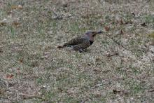 A northern flicker in Maynard, photographed by Gail Sartori.