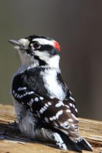 A downy woodpecker in Bolton, photographed by Jon Turner.