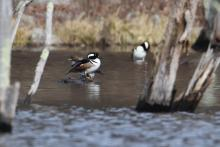 Hooded mergansers in Bolton, photographed by Jon Turner.