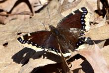 A mourning cloak butterfly in Bolton, photographed by Dawn Dentzer.