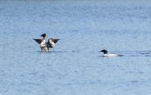 A pair of common mergansers at Bartlett Pond in Northborough, photographed by Steve Forman.