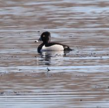A ring-necked duck at Bartlett Pond in Northborough, photographed by Steve Forman.