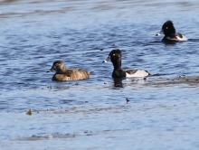 Ring-necked ducks at Bartlett Pond in Northborough, photographed by Steve Forman.