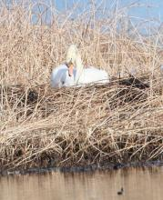 A mute swan at Bartlett Pond in Northborough, photographed by Steve Forman.