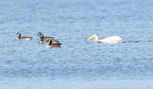 A mute swan and Canada geese at Bartlett Pond in Northborough, photographed by Steve Forman.
