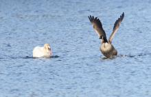 A mute swan and a Canada goose at Bartlett Pond in Northborough, photographed by Steve Forman.