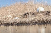 Mute swans at Bartlett Pond in Northborough, photographed by Steve Forman.