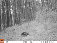 A beaver at SVT's Memorial Forest in Sudbury, photographed with an automatically triggered wildlife camera by Craig Smith.