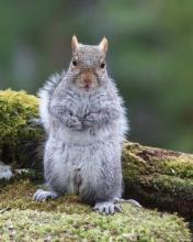 A gray squirrel in Sudbury, photographed by Sue Feldberg.