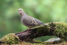 A mourning dove in Sudbury, photographed by Sue Feldberg.