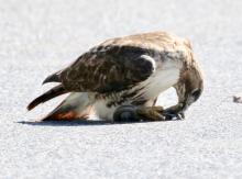 A red-tailed hawk with a snake in Framingham, photographed by Steve Forman.