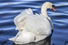 A mute swan in Grafton, photographed by Stacey Bourque.