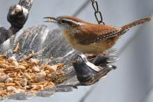 A Carolina wren in Maynard, photographed by Gail Sartori.