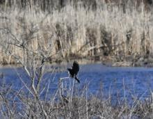 A common grackle in Maynard, photographed by Gail Sartori.