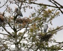 Great blue herons on the Sudbury Reservoir in Southborough, photographed by Steve Forman.