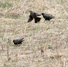 A female red-winged blackbird and European starlings at Breakneck Hill Conservation Land in Southborough, photographed by Steve Forman.