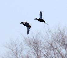 Mallards at Bartlett Pond in Northborough, photographed by Steve Forman.