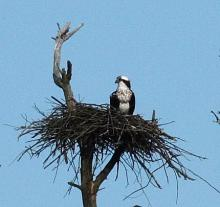 An osprey at Assabet River National Wildlife Refuge, photographed by Dan Trippe.