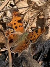 An eastern comma butterfly on the Boroughs Loop Trail in Marlborough, photographed by Dawn Dentzer.