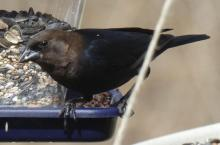 A brown-headed cowbird in Sudbury, photographed by Sharon Tentarelli.