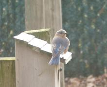 An eastern bluebird in Westborough, photographed by John Carter.