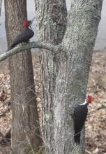 A pair of pileated woodpeckers in Sudbury, photographed by Irene Gruenfeld.
