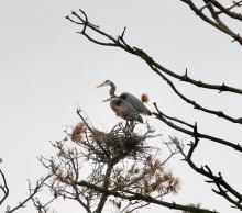 Great blue herons at the Sudbury Reservoir in Southborough, photographed by Steve Forman.