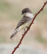 An eastern phoebe at Breakneck Hill Conservation Land in Southborough, photographed by Steve Forman.