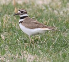 A killdeer at Bartlett Pond in Northborough, photographed by Steve Forman.