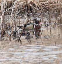 A wood duck at Bartlett Pond in Northborough, photographed by Steve Forman.