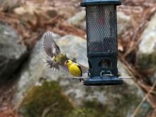 American goldfinches in Southborough, photographed by Eileen Samberg.
