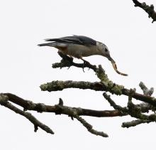 A white-breasted nuthatch at Breakneck Hill Conservation Land in Southborough, photographed by Steve Forman.