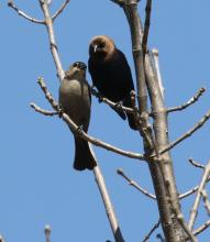 A pair of brown-headed cowbirds at Breakneck Hill Conservation Land in Southborough, photographed by Steve Forman.