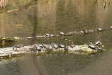Painted turtles in Concord, photographed by Gail Sartori.