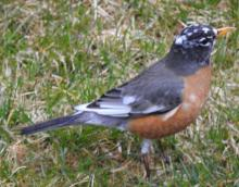 A leucistic American robin in Wayland, photographed by Connie Schlotterbeck.