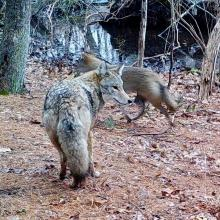 Coyotes in Natick, photographed with an automatically triggered wildlife camera by Chuck Hill.