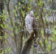 A Cooper's hawk in Framingham, photographed by Jim Stockless.