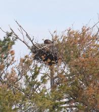 A bald eagle at its nest on Foss Reservoir in Framingham, photographed by Steve Forman.