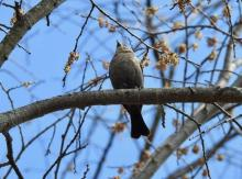 A brown-headed cowbird at the Community Gardens in Wayland, photographed by Connie Schlotterbeck.
