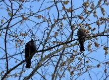 Brown-headed cowbirds at the Community Gardens in Wayland, photographed by Connie Schlotterbeck.