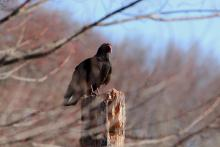 A turkey vulture in Bolton, photographed by Jon Turner.